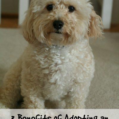 3 Benefits of Adopting an Adult Dog