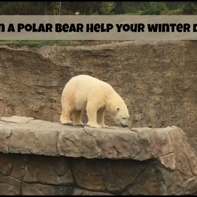 How Can a Polar Bear Help Your Winter Driving?