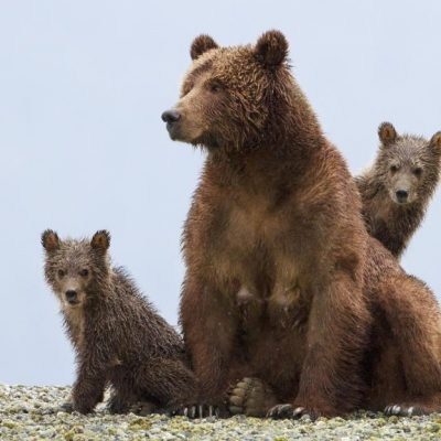 DisneyNature's BEARS Opens April 18 #MeettheCubs #DisneyNatureBEARS