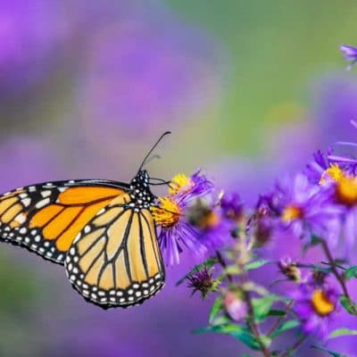 Why You Should Plant a Butterfly Garden