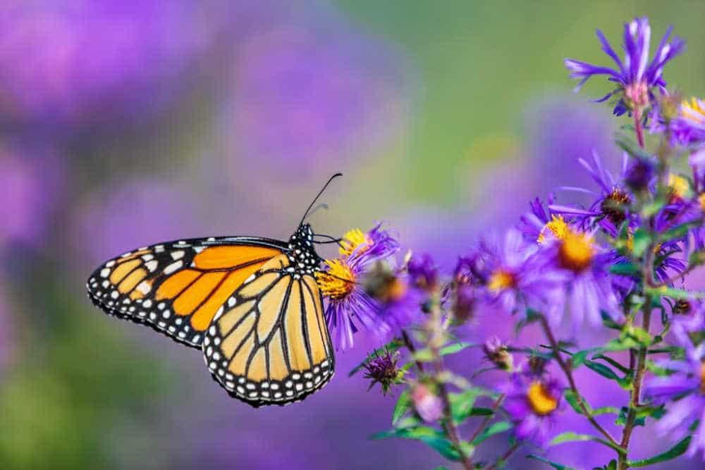 monarch butterfly on purple plant