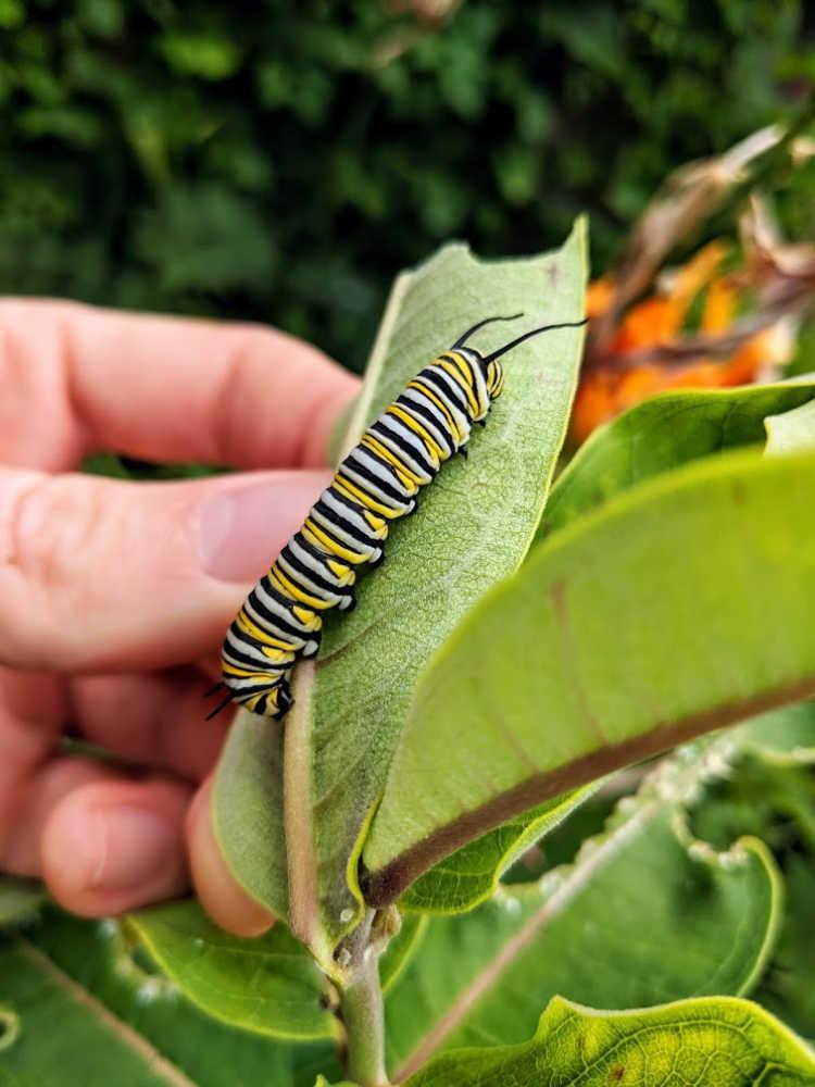 monarch caterpillar on leaf