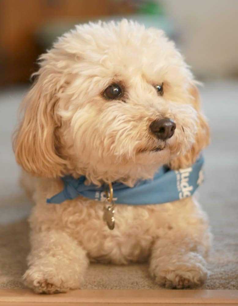 furry white dog with blue bandana